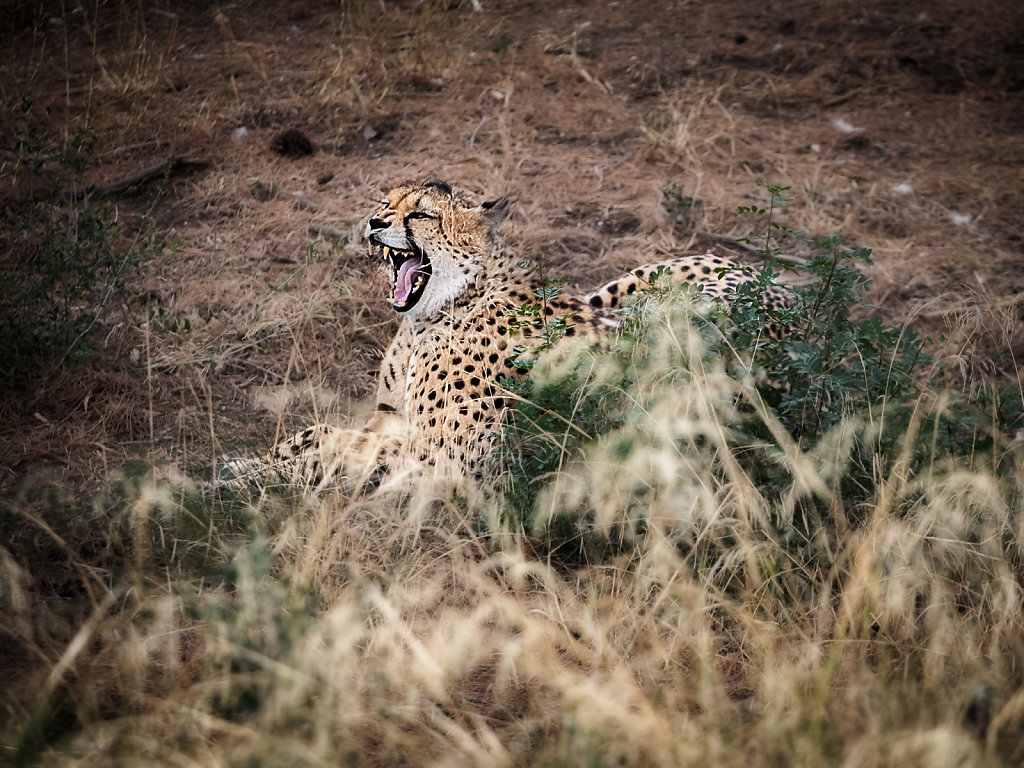 Hungry cheetah